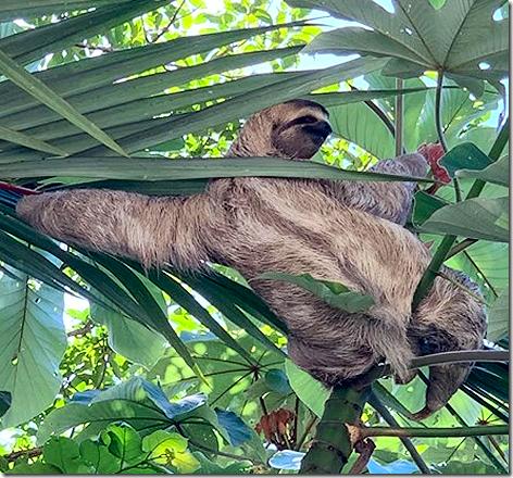 Costa Rica Animals - Tree Sloth
