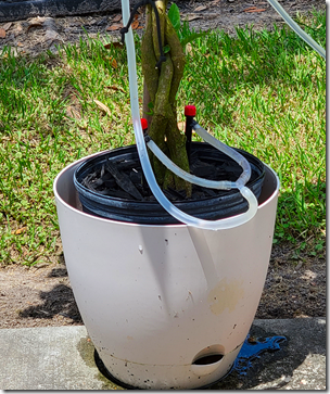 New Hibiscus Watering System