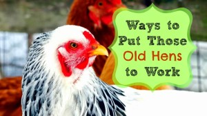 Ways to Put Those Old Hens to Work!