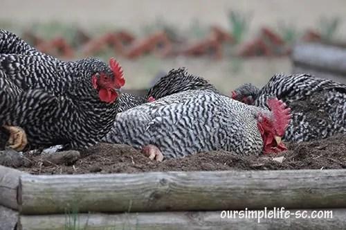 chickens taking a dirt bath