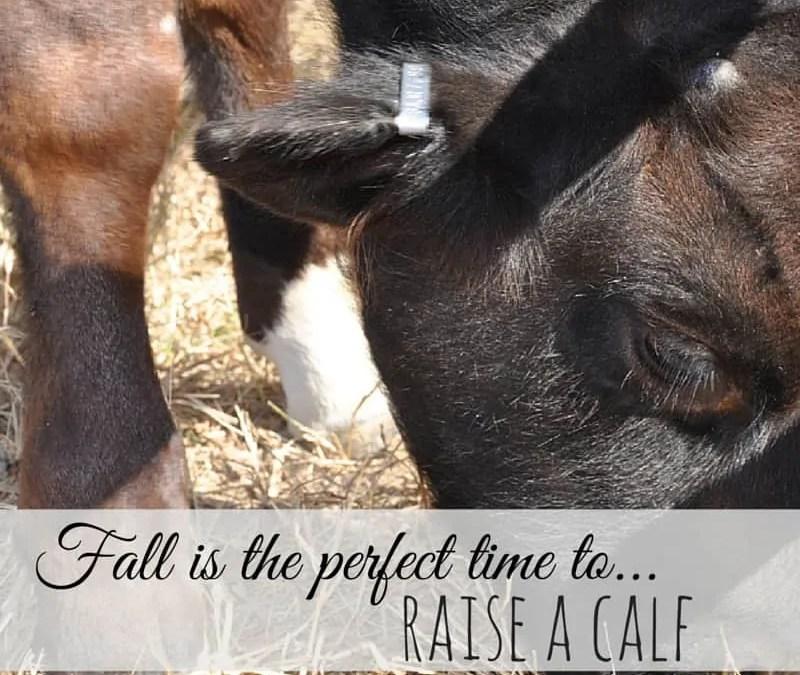 Raise a Calf