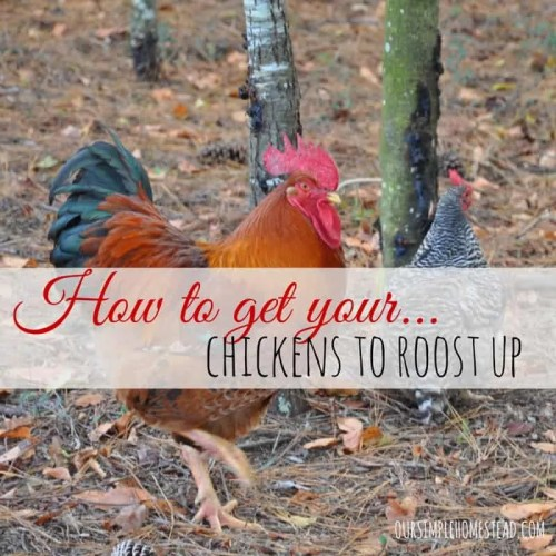 How to get your chickens to roost up at night.