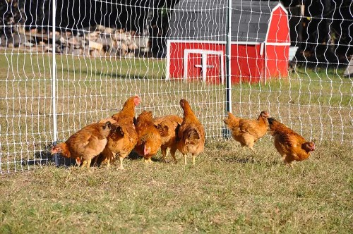 electric chicken fence