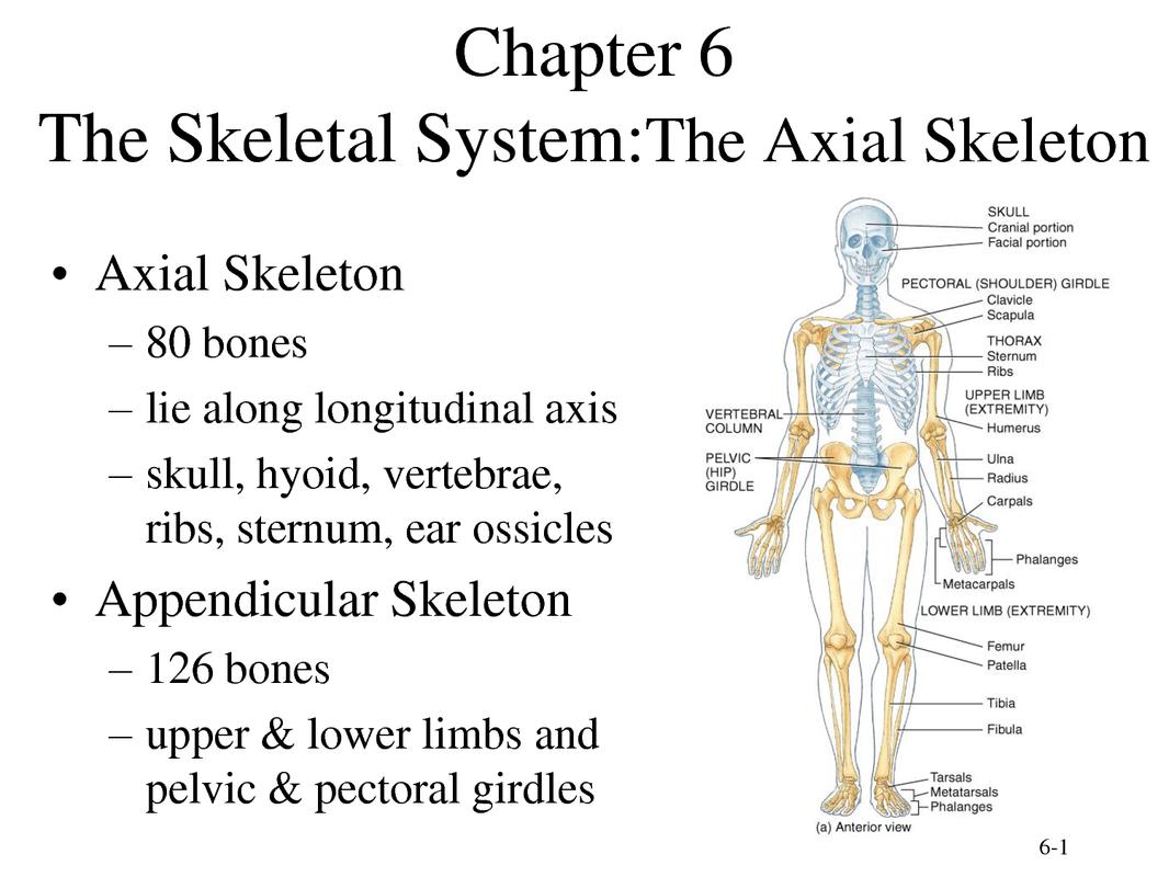 The Skeleton System