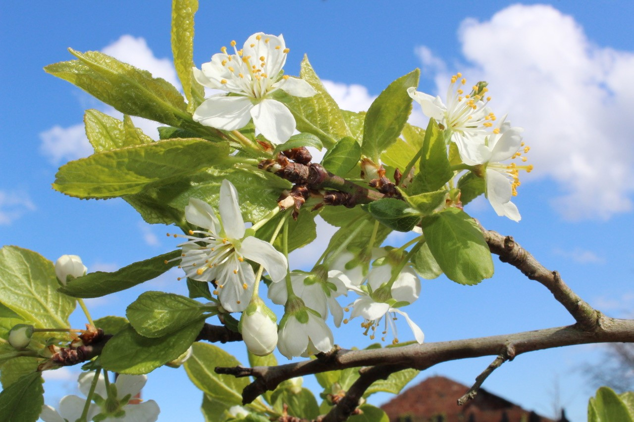 Blossom at Birkby Community Wildlife Garden