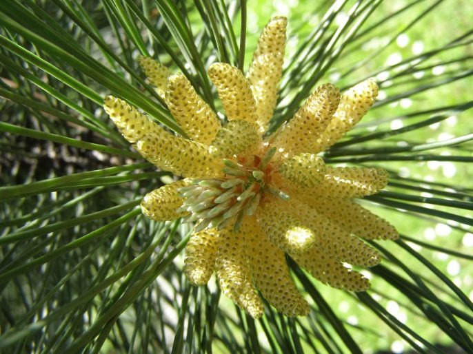 "pine ""flowers"""