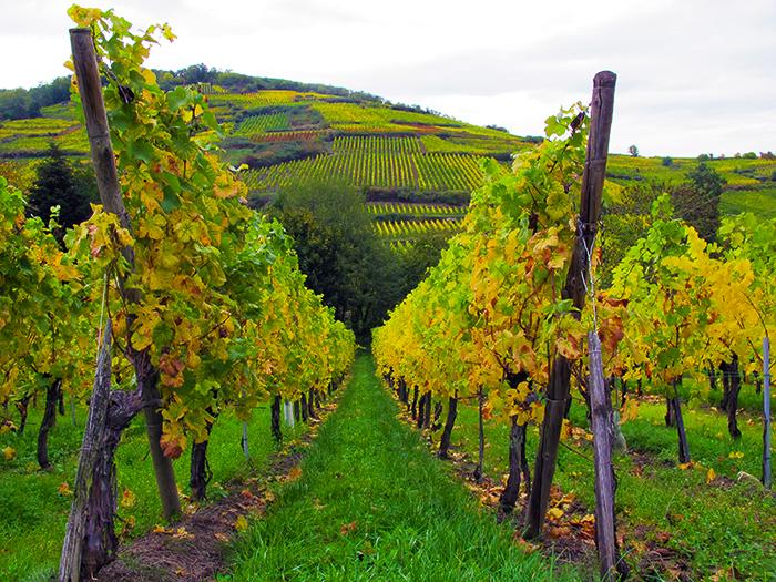 Alsace France Vineyards