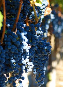 Photo of the Week: Napa Valley Grapes at Harvest Time