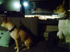 Hanging out in my co-worker's van with their adorable dogs.
