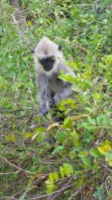 Jeep Safari Yala National Park Sri Lanka Monkey