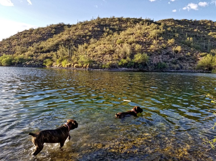 Hiking Butcher Jones Trail  - Dogs swimming in the lake at Saguaro Lake, Arizona