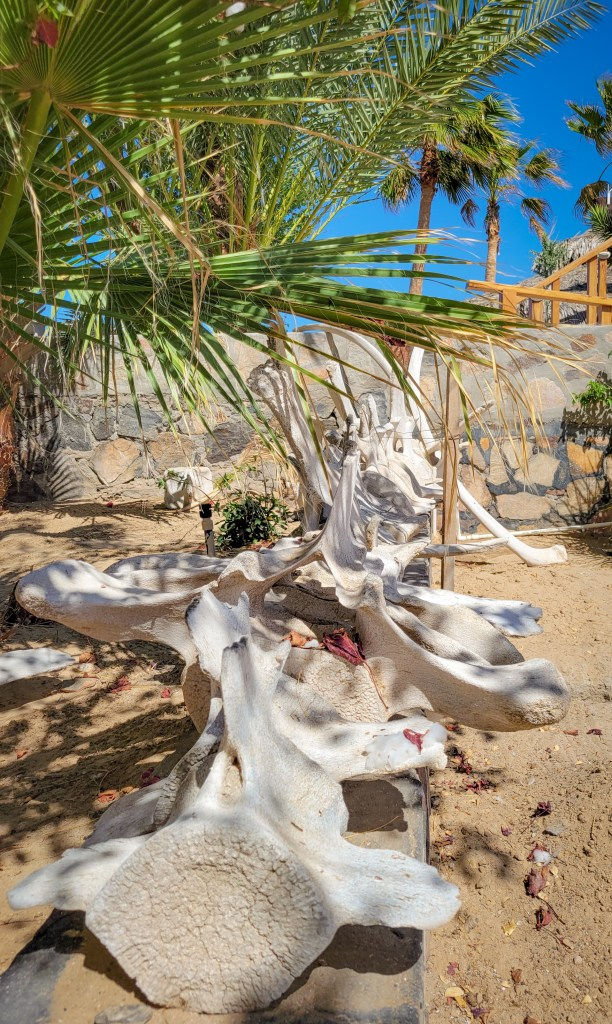 Bleached whale bones decorate the grounds at Chenowth Legacy Lodge in Rancho Percebu, Baja California, Mexico