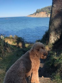 Goldendoodle near the Water, Cape Agaro, Oregon Coast