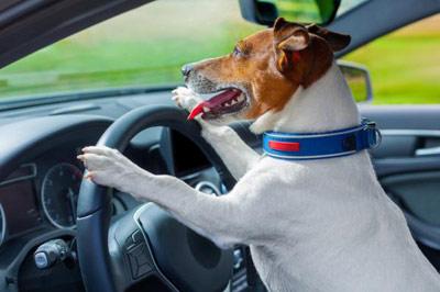 us_weird_dog_driving