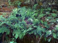 More than 20 kinds of fern grace the park.
