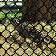 One of 4 baby Clouded Leopards from mainland Southeast Asia into China