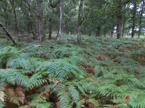 The ferns are often more than 4 ft tall
