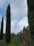 Italian Cypress Trees reminiscent of Tuscany!