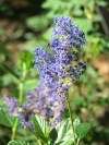 Ceanothus, Chumash used this to make rattles