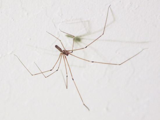 Photo of longbodied cellar spider