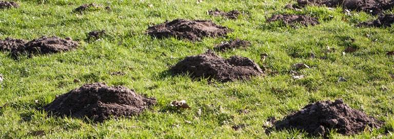 Molehills in field