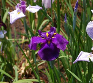 August-Purple Iris, Tsuruma Koen, Nagoya