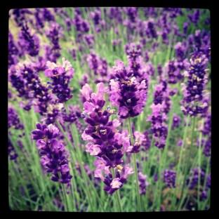 June-Field of Lavender, Arakogawa Koen, Nagoya
