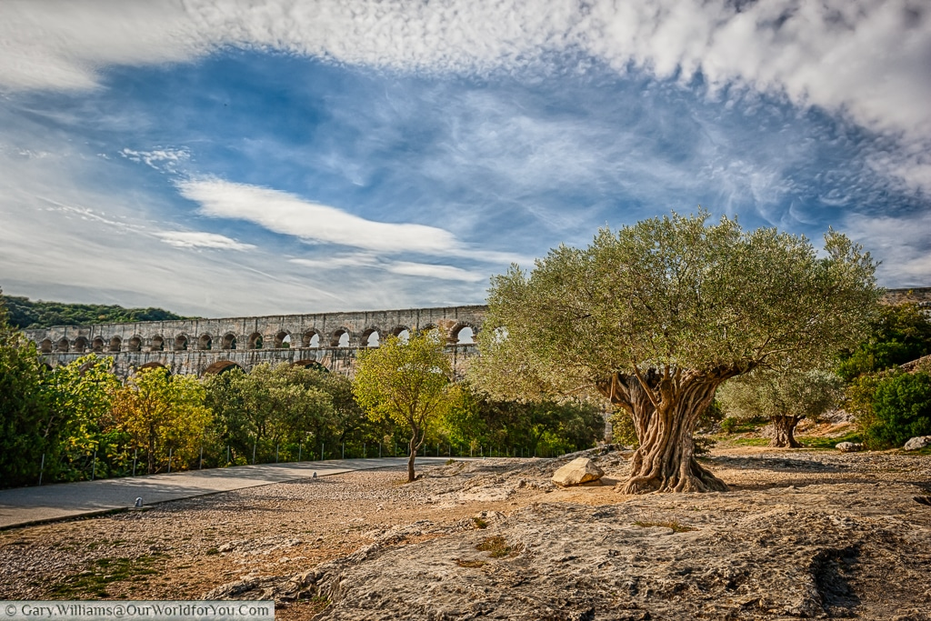 An ancient olive tree on the approach to Pont du Gard, France