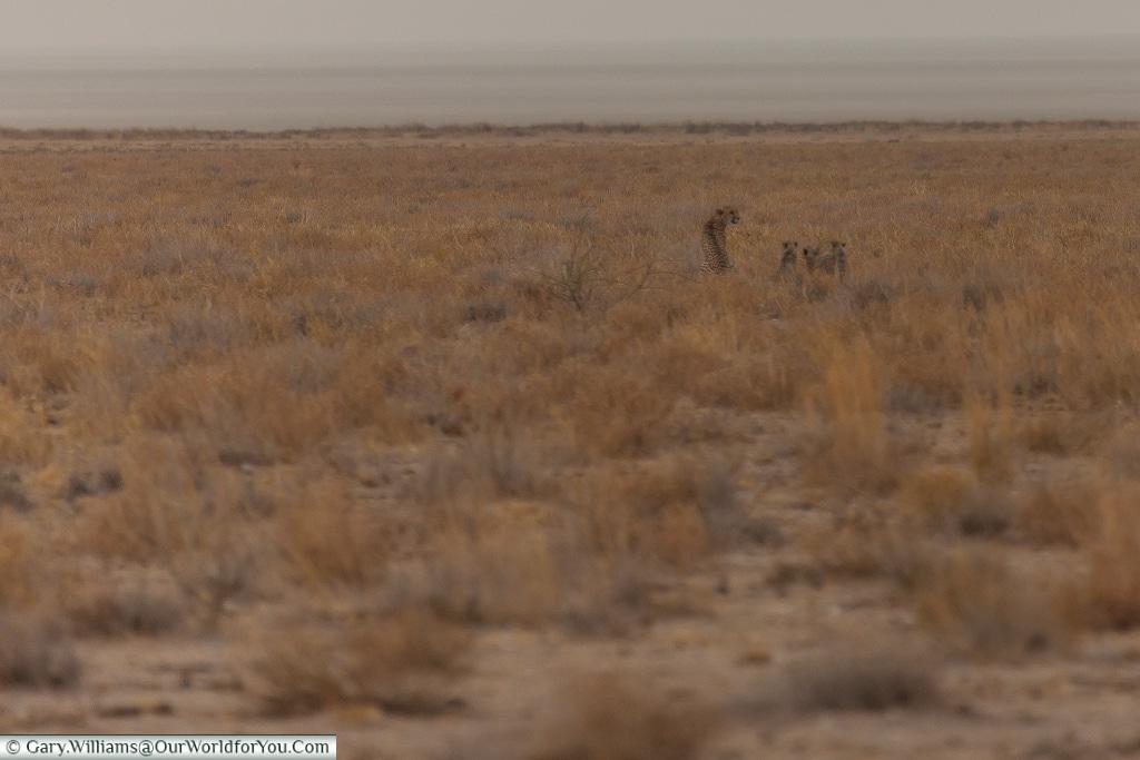 A family of cheetah hunting, Etosha, Namibia