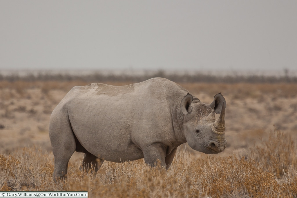 A rhino - approach with caution, Etosha, Namibia