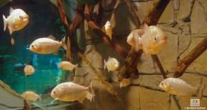 St. Andrews Aquarium Piranah Tank
