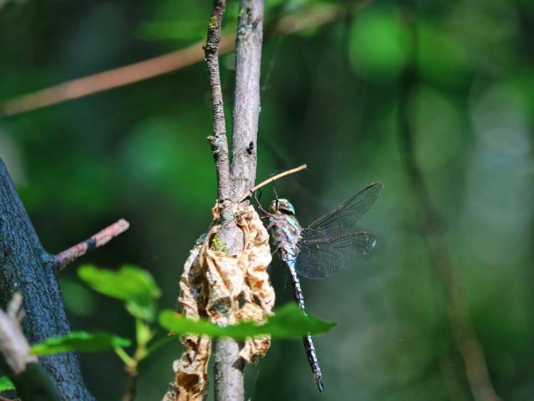 Dragonfly on Elk Island hike