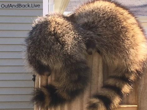 raccoon2e