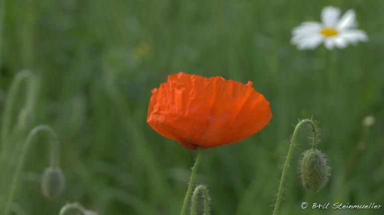 A vivid orange poppy in a green field.