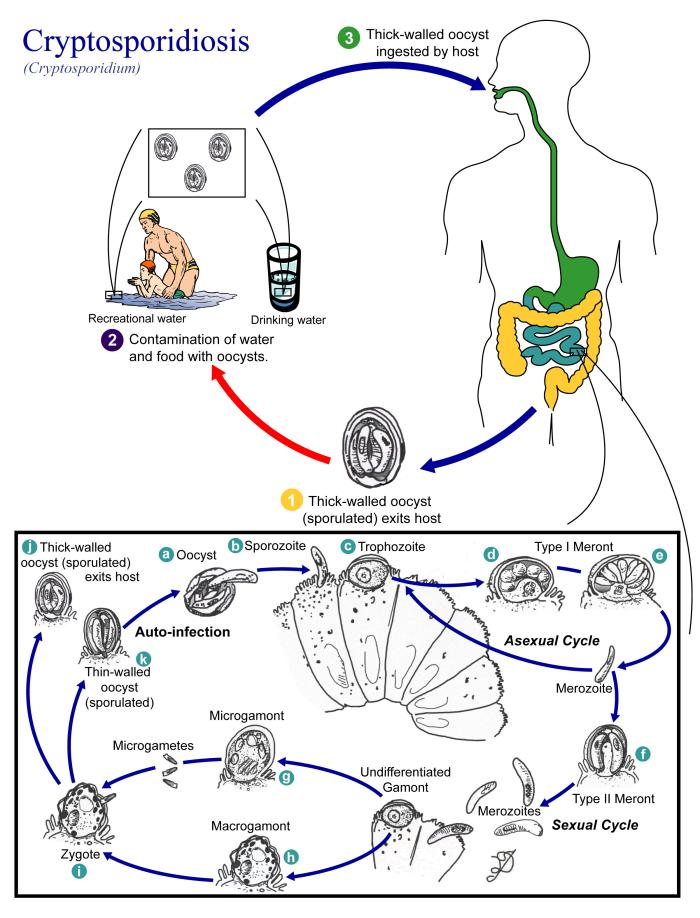 Cryptosporidium life cycle/CDC