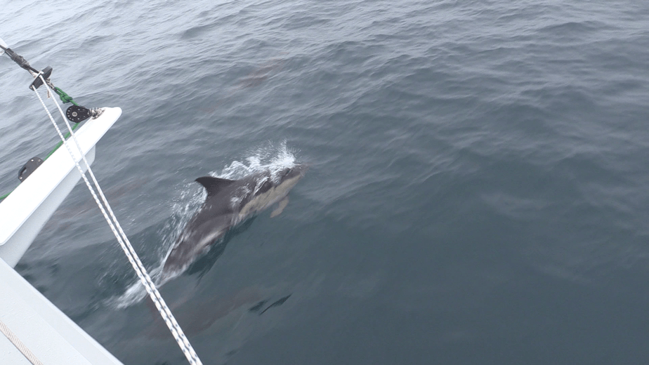 Common dolphins on our bow.