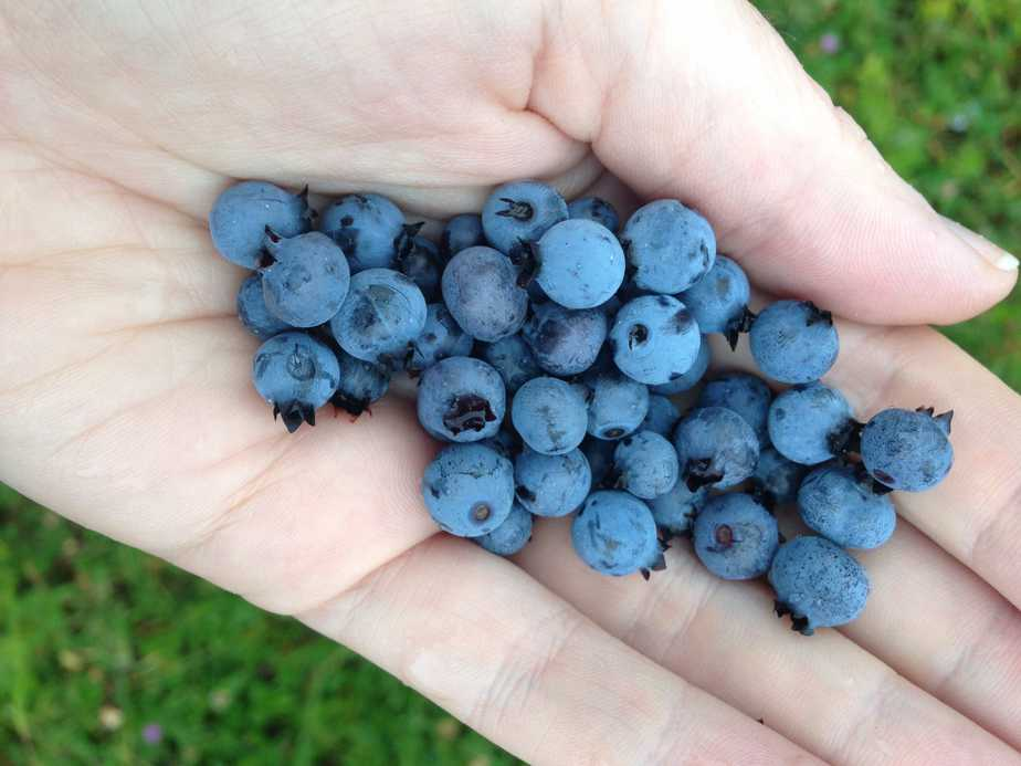 Wild blueberries picked on the Cabot Trail.