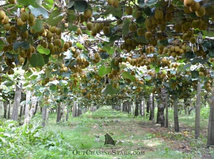 Kiwifruit Country: Kiwi Orchard in Tauranga