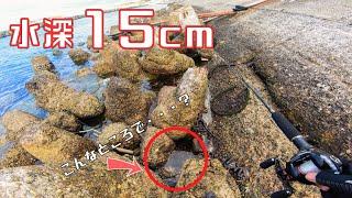 【穴釣り】水深15cmの超浅場テトラで高級魚が連発!?