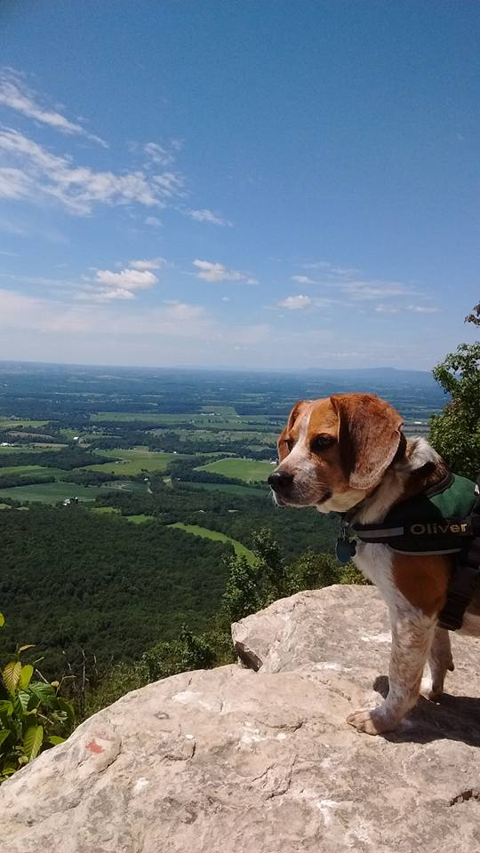 Beagle at a scenic overlook