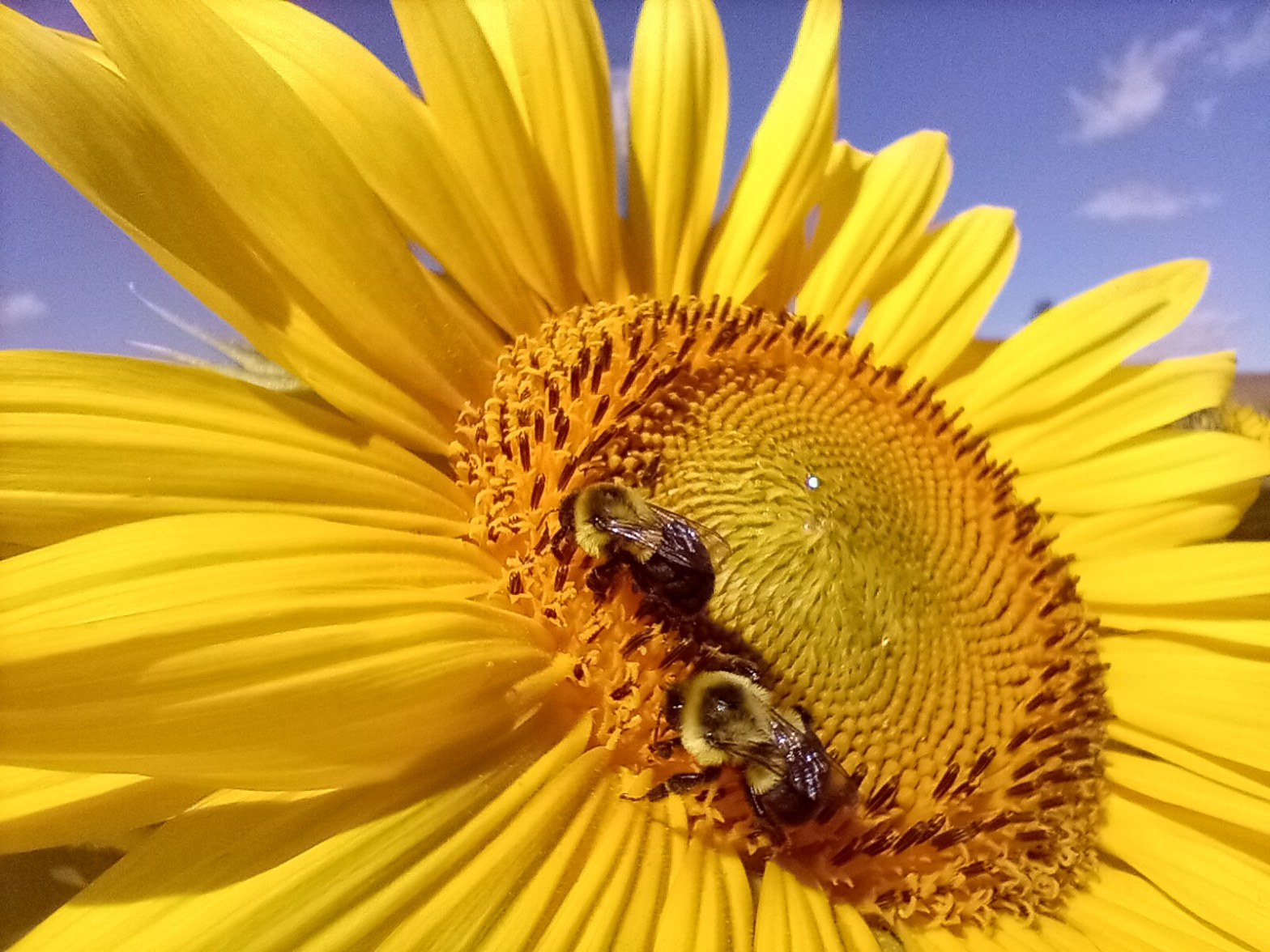 Sunflower with two bees