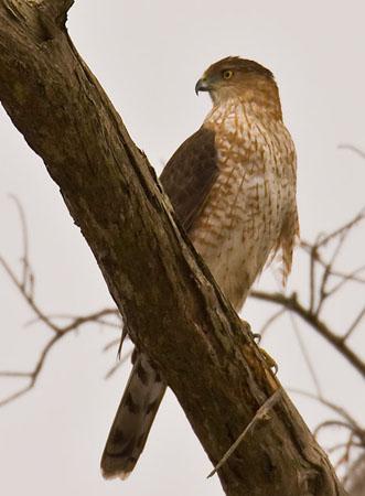 Coopers Hawk  Outdoor Alabama