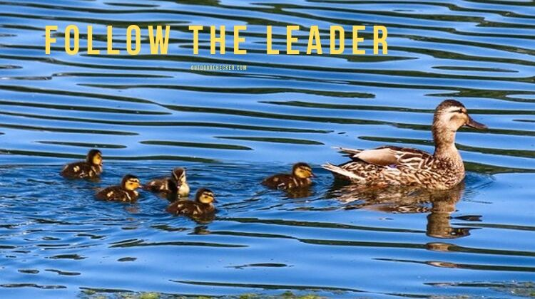 follow the leader - duck with chicks