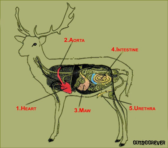 Where To Shoot A Deer With A Bow 2?resize=570%2C503&ssl=1 where to shoot a deer with a bow ultimate deer bow hunting guide