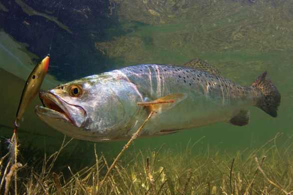 speckled trout fishing tips