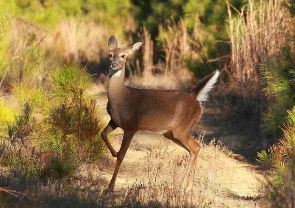 what do white tailed deer eat (3)