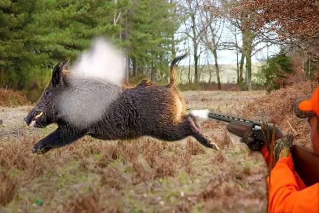 Use shotgun to kill hog