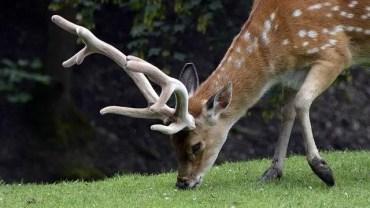 best deer attractant