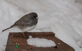 Backyard - Snowy April 006