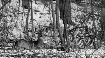 Whitetail @ backyard